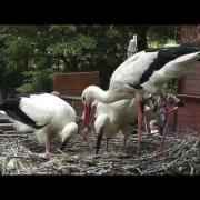 Margitszigeti kisgólyák - 2012. július 14 - Little White storks in the nest