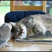 Dove annoys sleeping cat