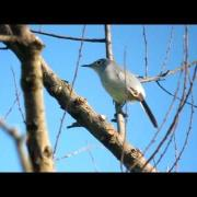 Blue-grey Gnatcatcher Video