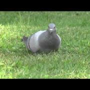 Pigeon biset (Rock Pigeon) @ Montréal 02août2014