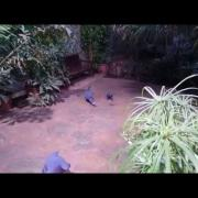 Victoria Crowned Pigeon Family