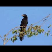 Groove-billed Ani Cooling Down by Panting