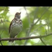 Wood Thrush singing