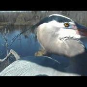 Tree-top view of Great Blue Herons in amazing double flight to nest