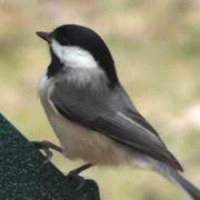 Black-Capped Chickadee - HD Mini-Documentary