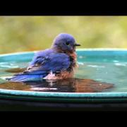 Male Eastern Bluebird fledgling enjoying his bath