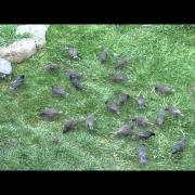 House Sparrows and Starlings on my lawn
