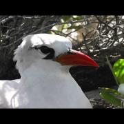 Red-tailed Tropicbird (adult), 9th September 2013, Oeno Island, SE Pacific