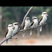 Kookaburra's laughing