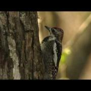 Yellow-bellied Sapsucker Drilling Sap Wells