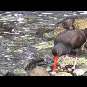 Black Oystercatcher #1