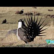 Sage Grouse Strut their Stuff