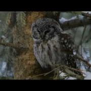 Boreal Owl - Visitor From The North