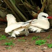 Red-tailed Tropicbird pair