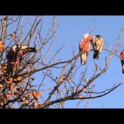 Chirping Galahs at ease in the wild