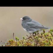 Dark-eyed Juncos (slate colored) in Maine