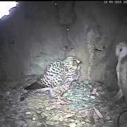 Barn Owl v Kestrel