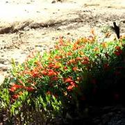 Hummingbird on California fuchsia