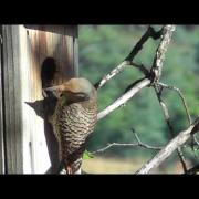 Northern Flicker Male Nestling Fledges From Nest Box