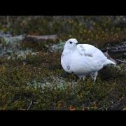 Through the Lens: White-tailed Ptarmigan