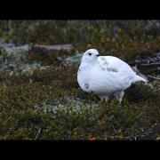 Through the Lens: White-tailed Ptarmigan