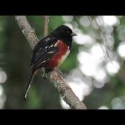 Spotted towhee sings in the forest