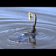 "Anhinga the ""Snakebird"" Famous spear technique for a fresh meal ""water turkey"""