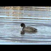 American Coot Trying to Imitate a Diving Duck