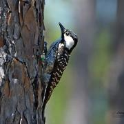 Red cockaded Woodpecker