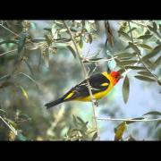 Western Tanager 2013-05-11