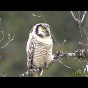HÖKUGGLA  Northern Hawk Owl  (Surnia ulula)  Klipp - 1431