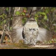 Ruffed Grouse Drumming in Maine - II