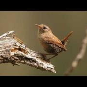 Winter Wren Portrait