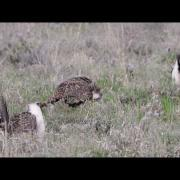 Greater sage grouse lek in Morgan County