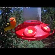 Male Western Tanager Stops in West Texas – May 10, 2017