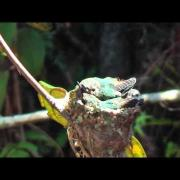 Bee Hummingbirds or Zunzuncito the smallest living bird in the world