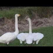 Whooper Swans Singing And Dancing