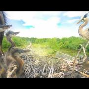 Great Blue Heron Highlights 2013