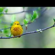 Yellow Warbler Portrait