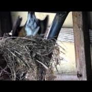 American Robin Bird Nest Build