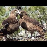 Culebrera europea (Circaetus gallicus) Short-toed Snake-eagle ++