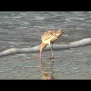 California Wildlife ---- Marbled Godwit