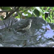 Ruby-crowned kinglet bathing 2014-01-31