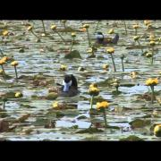 Ruddy duck courtship