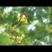 Blue Crown Hanging Parrot Takes Nectar