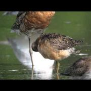WWT Slimbridge: Long-billed dowitcher - close-up