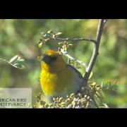 Endangered Hawaiian Forest Birds: The Palila