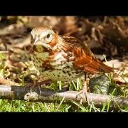 Fox Sparrow bathing and singing