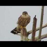 12/10/14 RHM Merlin Falcon & Kingfisher Closely Perched @ Boeing Aerospace Pond