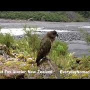 Endangered Kea Parrot At Fox Glacier In New Zealand